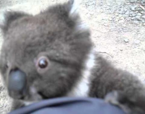 Koala climbs up womans leg demands cuddles omg omg