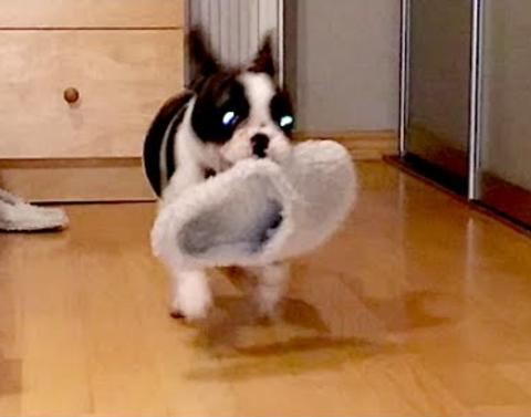 Dog is obsessed with slippers
