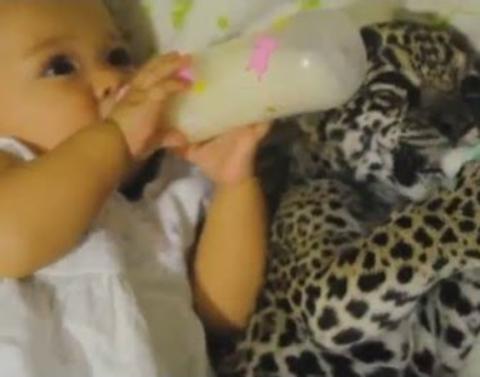 Baby girl enjoys bottle withbaby jaguar