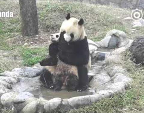 Baby panda really really really does not want to take a bath