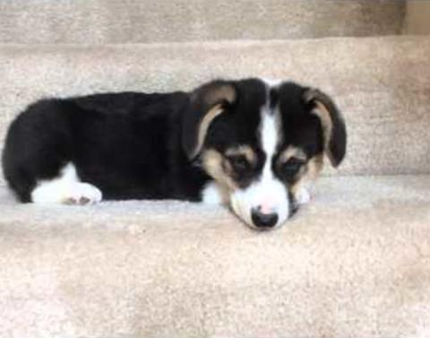 This corgi puppy is petrified to go down stairs