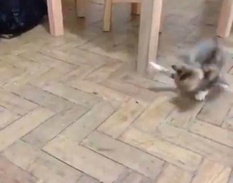 Kitten goes crazy over bug attack