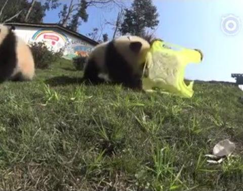 Playful panda punches camera tries to eat it