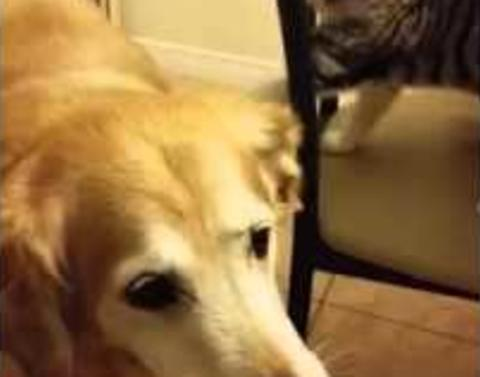 Cat tortures dogdog pretty much just ignores it