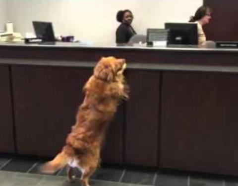 Worlds cutest dog takes out cookie withdrawl from the bank