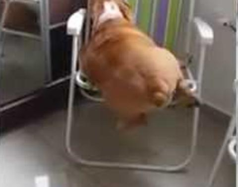 Bulldogs hilarious struggle to get on chair does he make it