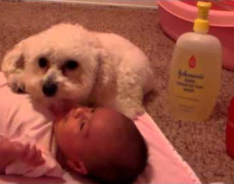 Little dog protects baby from evil hair dryer