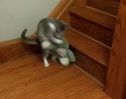 Cat tries to take an alligator upstairs