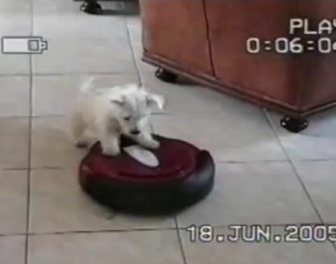 Puppy just wants to play with roomba