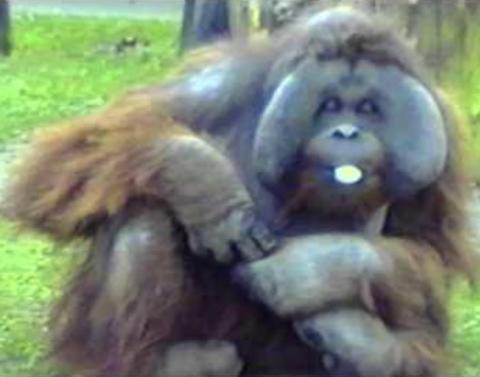 Orangutan chews bubble gum dot dot dot and then does this