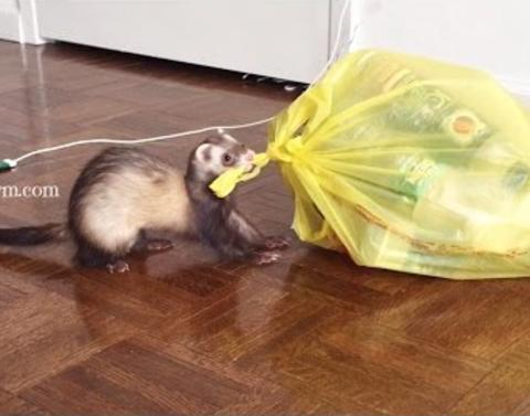 Helpful ferret assist with spring cleaning