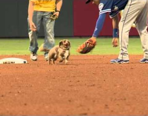 Wiener dog breaks free from pack dares baseball players to catch