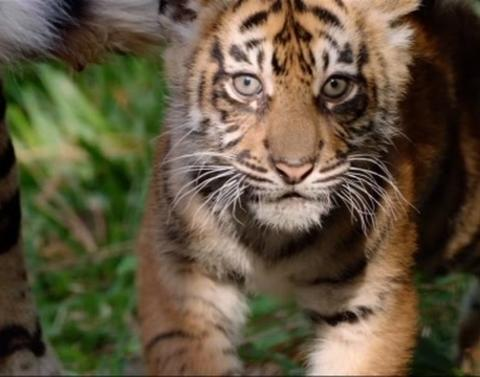 Meet these adorable tiger cubs