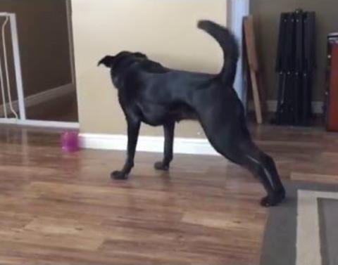 Dog wont stop stretching to get toy