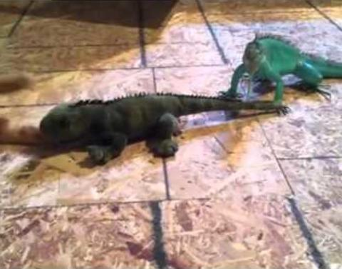 Iguana protects his girlfriend