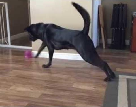 Black lab plays hot lava