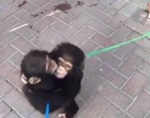 Baby chimps greet each other with a hug melt our hearts into a g