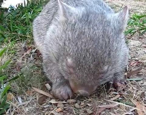 Wombats have adorable sneezes