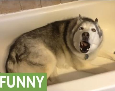 Husky wants a bath throws adorable temper tantrum