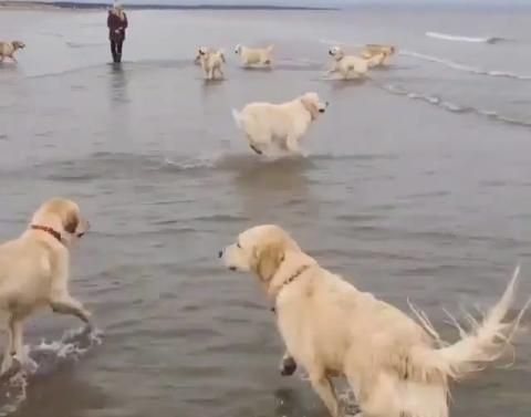 This beach is full of frolicking golden retrievers