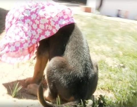Adorable pup struggles with sun hat