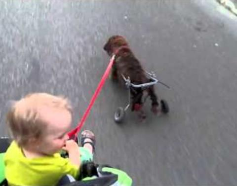 Dog in wheelchair goes for a walk