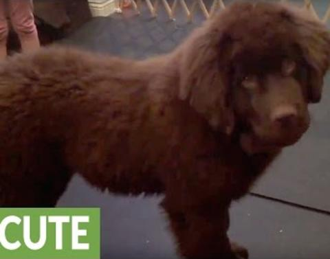Little girl takes on newfoundland puppy in epic dance off