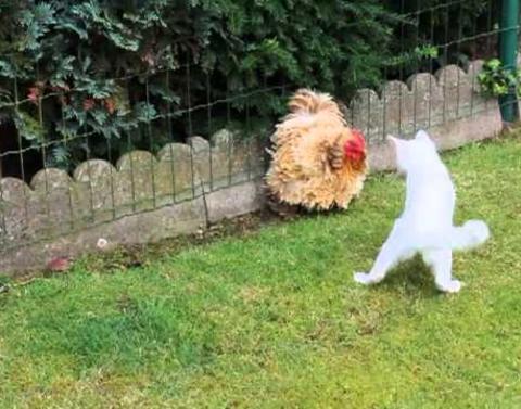 Cat vs chicken who wins