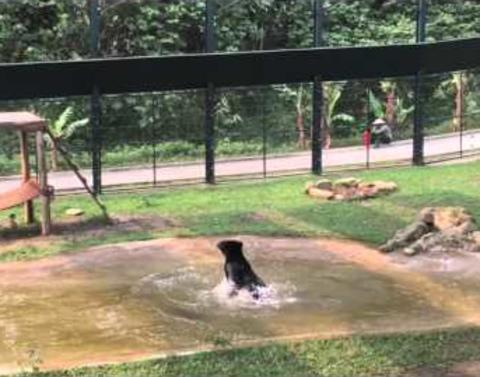 Rescued bear thoroughly enjoys first swim