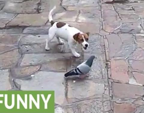 This pigeon just cant be bothered by this dog