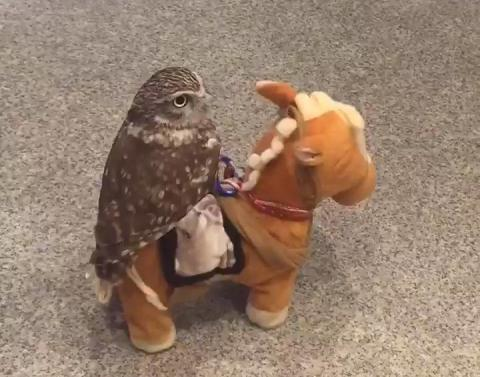 Owl rides toy horse makes the world a better place