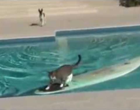 Genius cat surfs across pool to escape dog