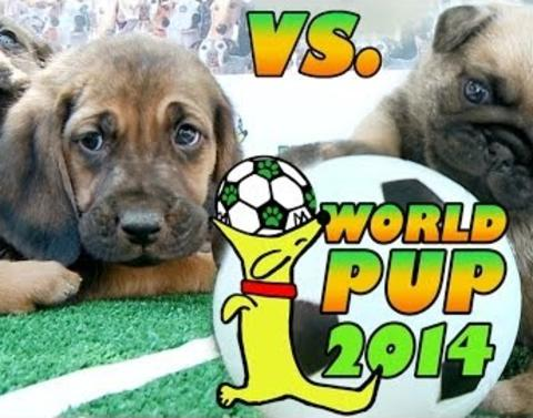 Doggie battle bloodhounds vs pugs who will win
