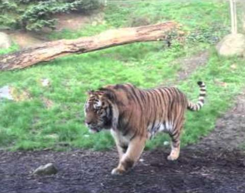 And this is why you never wake a sleeping tiger
