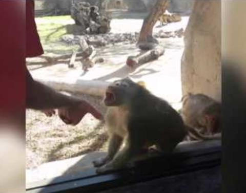 Baboon is blown away by magic trick