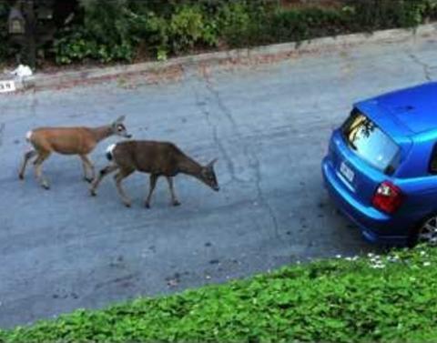 Traffic jam cat vs deer