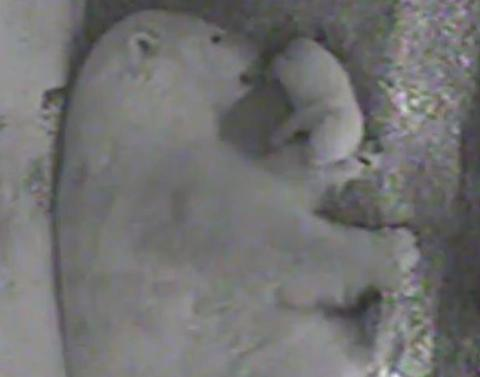 Polar bear cub cuddles up to mom in cutest video you will ever s
