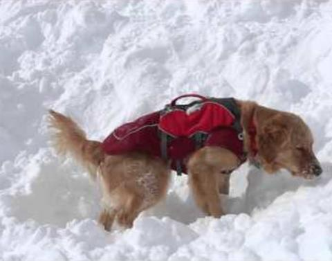 This dog rescues people from avalanches