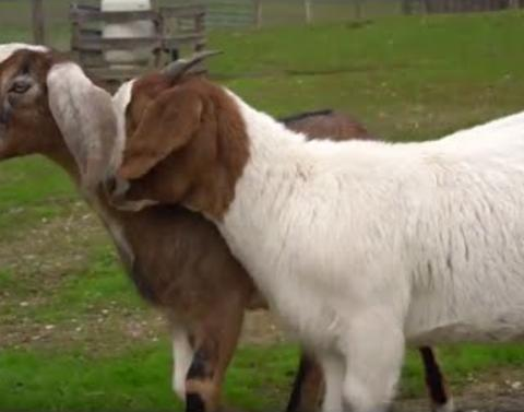 Seeing eye goat helps blind friend navigate through life