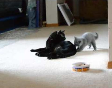 Tiny kitten tries to scare momma never has failure been more ado