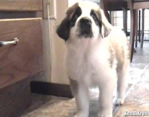 St bernard puppy meets cat fears the consequences