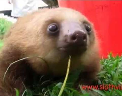 What sound does a sloth make its beyond cute