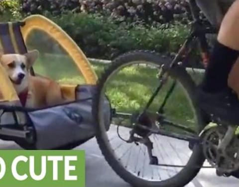 Watch this corgi ride a bike