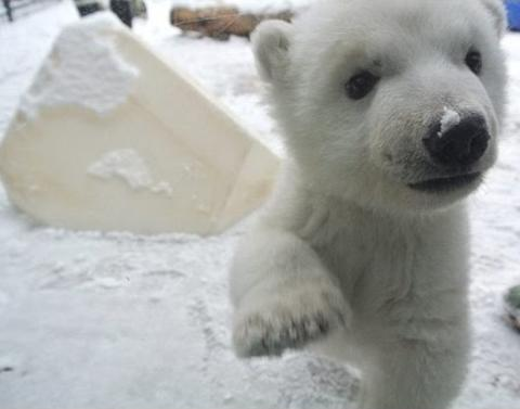 Adorable baby polar bear see snow for first time