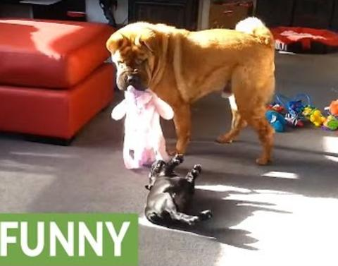 Bulldog and shar pei engage in epic tug of war match who wins