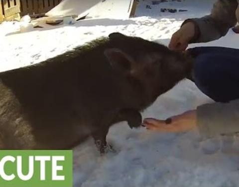 Pig shakes hands for treat