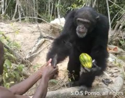 Abandoned chimp receives special cuddly gift
