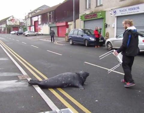 Seal crosses busy street begs for fish from favorite restaurant
