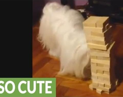 Dog plays jenga can she beat you