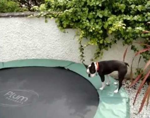 Boston terrier puppy on a trampoline is exactly as cute as youd